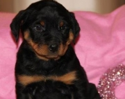 gracious German Rottweiler Puppies Both M/f Avail TEXT ONLY:  (((( 937 x 469 x 8986 )))))*