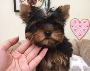 happy Yorkshire Terrier Puppies for Sale Both M/f Avail TEXT ONLY:  (((( 937 x 469 x 8986 )))))*