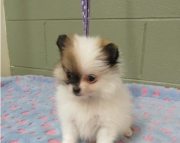passionate Pomeranian Puppies for Sale Both M/f Avail TEXT ONLY:  (((( 937 x 469 x 8986 )))))*