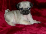 masculine Pug Puppies Both M/f Avail TEXT ONLY:  (((( 937 x 469 x 8986 )))))*