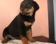 obedient German Rottweiler Puppies Both M/f Avail TEXT ONLY:  (((( 937 x 469 x 8986 )))))*
