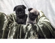 massive Pug Puppies Both M/f Avail TEXT ONLY:  (((( 937 x 469 x 8986 )))))*