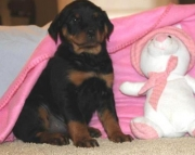 occasional German Rottweiler Puppies Both M/f Avail TEXT ONLY:  (((( 937 x 469 x 8986 )))))*