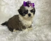 milky Shih Tzu Puppies Both M/f Avail TEXT ONLY:  (((( 937 x 469 x 8986 )))))*