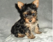 outstandi Yorkshire Terrier Puppies for Sale Both M/f Avail TEXT ONLY:  (((( 937 x 469 x 8986 )))))*