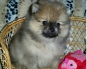 peaceful Pomeranian Puppies for Sale Both M/f Avail TEXT ONLY:  (((( 937 x 469 x 8986 )))))*