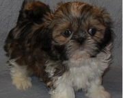 misty Shih Tzu Puppies Both M/f Avail TEXT ONLY:  (((( 937 x 469 x 8986 )))))*