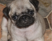 previous Pug Puppies Both M/f Avail TEXT ONLY:  (((( 937 x 469 x 8986 )))))*