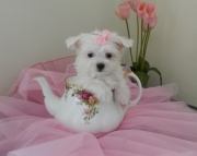 profitable Maltese Puppies Both M/f Avail TEXT ONLY:  (((( 937 x 469 x 8986 )))))*