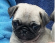 precious Pug Puppies Both M/f Avail TEXT ONLY:  (((( 937 x 469 x 8986 )))))*