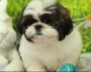 Purple Shih Tzu Puppies Both M/f Avail TeXt Only:  (((( 937 X 469 X 8986 )))))*
