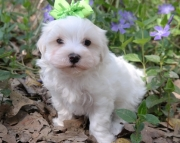prime Maltese Puppies Both M/f Avail TEXT ONLY:  (((( 937 x 469 x 8986 )))))*