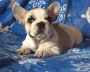 sceful French bulldog Pups for Sale Both Mf Avail TEXT ONLY  385 x 202 x 5167