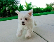 faithful Maltese Puppies Both M/f Avail TEXT ONLY:  (((( 804 x 480 x 2982 )))))*
