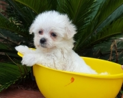 marvelous Maltese Puppies Both M/f Avail TEXT ONLY:  (((( 804 x 480 x 2982 )))))*