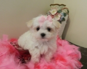 perfect Maltese Puppies Both M/f Avail TEXT ONLY:  (((( 804 x 480 x 2982 )))))*