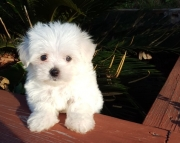 chivalrous Maltese Puppies Both M/f Avail TEXT ONLY:  (((( 804 x 480 x 2982 )))))*