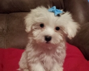 gorgeous Maltese Puppies Both M/f Avail TEXT ONLY:  (((( 804 x 480 x 2982 )))))*