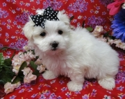 excellent Maltese Puppies Both M/f Avail TEXT ONLY:  (((( 804 x 480 x 2982 )))))*
