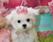 graceful Maltese Puppies Both M/f Avail TEXT ONLY:  (((( 804 x 480 x 2982 )))))*