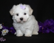 honorable Maltese Puppies Both M/f Avail TEXT ONLY:  (((( 804 x 480 x 2982 )))))*