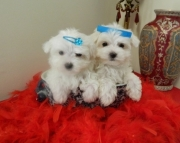 helpful Maltese Puppies Both M/f Avail TEXT ONLY:  (((( 804 x 480 x 2982 )))))*