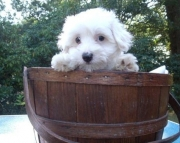 understanding Maltese Puppies Both M/f Avail TEXT ONLY:  (((( 804 x 480 x 2982 )))))*
