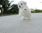 first-class Maltese Puppies Both M/f Avail TEXT ONLY:  (((( 804 x 480 x 2982 )))))*