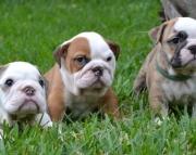 Active English bulldog puppies