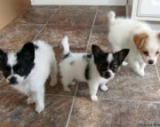 Beautiful Breed Papillons Puppies for sale