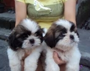 Tiny Shih tzu Puppies Ready For Sale