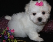 Maltese Puppies Both M/F Avail TEXT : (((( 858 x 522 x 0713 )))))*