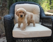 Golden Retriever Puppies Both M/F Avail TEXT : (((( 858 x 522 x 0713 )))))*