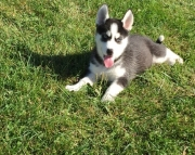 Siberian Husky Pups Both M/F Avail TEXT : (((( 858 x 522 x 0713 )))))*