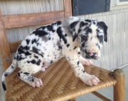 Great Dane Puppies Both M/F Avail TEXT : (((( 858 x 522 x 0713 )))))*