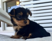 Teacup Yorkie Puppies Both M/F Avail TEXT : (((( 858 x 522 x 0713 )))))*
