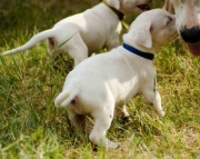 Dogo Argentino Puppies Both M/F Avail TEXT : (((( 858 x 522 x 0713 )))))*