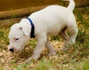 Dogo Argentino Pups Both M/F Avail TEXT : (((( 858 x 522 x 0713 )))))*