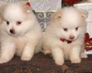 Pomeranian Puppies Both M/F Avail TEXT : (((( 858 x 522 x 0713 )))))*