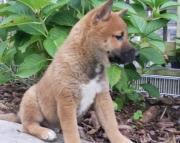 Shiba Inu Puppies Both M/F Avail TEXT : (((( 858 x 522 x 0713 )))))*