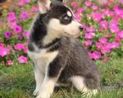 Siberian Husky Pups Both M/F Avail TEXT : (((( 858 x 522 x 0713 )))))*