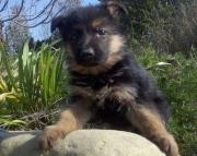 German Shepherd Puppies Both M/F Avail TEXT : (((( 858 x 522 x 0713 )))))*