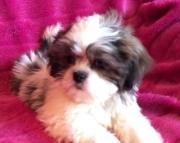 Shih Tzu Puppies Both M/F Avail TEXT : (((( 858 x 522 x 0713 )))))*