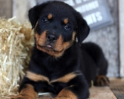 German Rottweiler Pups Both M/F Avail TEXT : (((( 858 x 522 x 0713 )))))*