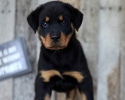 Akc Rottweiler Puppies Both M/F Avail TEXT : (((( 858 x 522 x 0713 )))))*