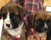 Akc Boxer Puppies Both M/F Avail TEXT : (((( 858 x 522 x 0713 )))))*