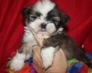 Shih Tzu Puppies Both M/F Avail TEXT : (((( 858 x 522 x 0713 )))))*