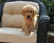 Golden Retriever Pups Both M/F Avail TEXT : (((( 858 x 522 x 0713 )))))*