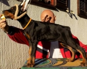 Doberman Pinscher Puppies Both M/F Avail TEXT : (((( 858 x 522 x 0713 )))))*