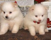 Cute Pomeranian Puppies Both M/F Avail TEXT : (((( 858 x 522 x 0713 )))))*